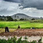 Rice Fields, Siem Reap
